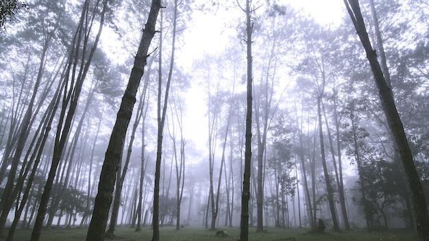 Misty paesaggio con bosco di abeti in thailandia
