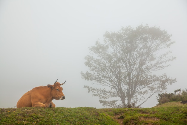 Paesaggio nebbioso con mucche selvatiche nell'erba verde di una montagna