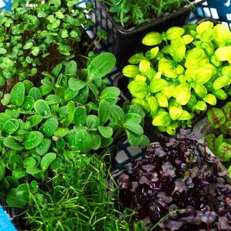 Mix di close-up di micro verdi. microgreens di cipolle, basilico e ravanelli.