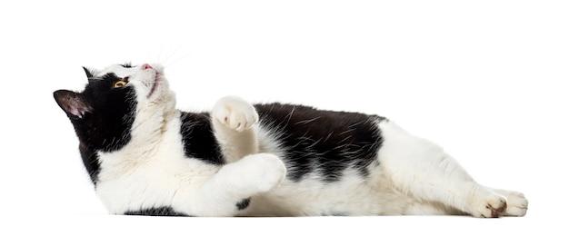 Gatto di razza mista che osserva in su isolato