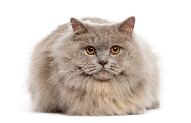 Gatto di razza mista sdraiato su uno sfondo bianco