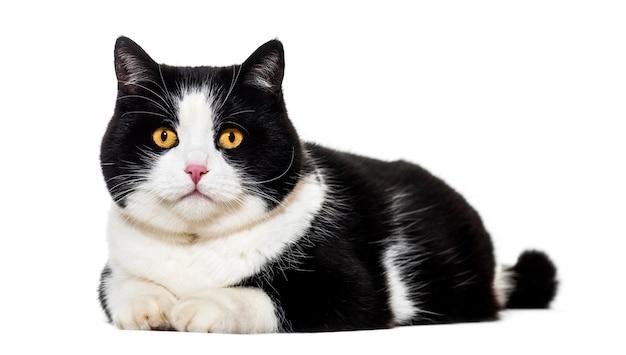 Gatto di razza mista sdraiato sul davanti isolato