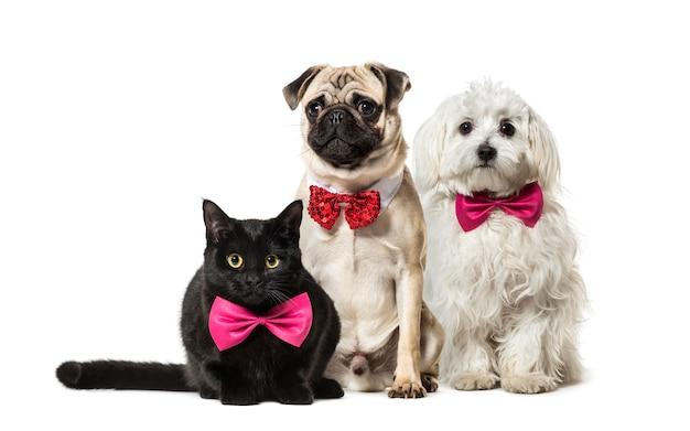 Gatto di razza mista, pug in papillon rosso seduto, cane maltese