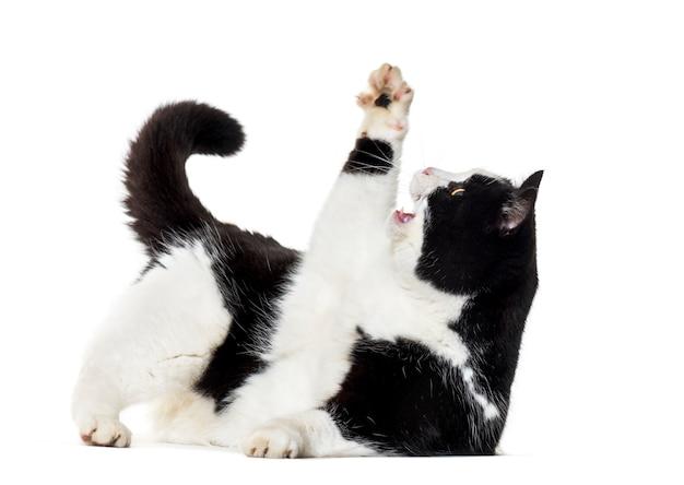 Gatto di razza mista che raggiunge in su isolato