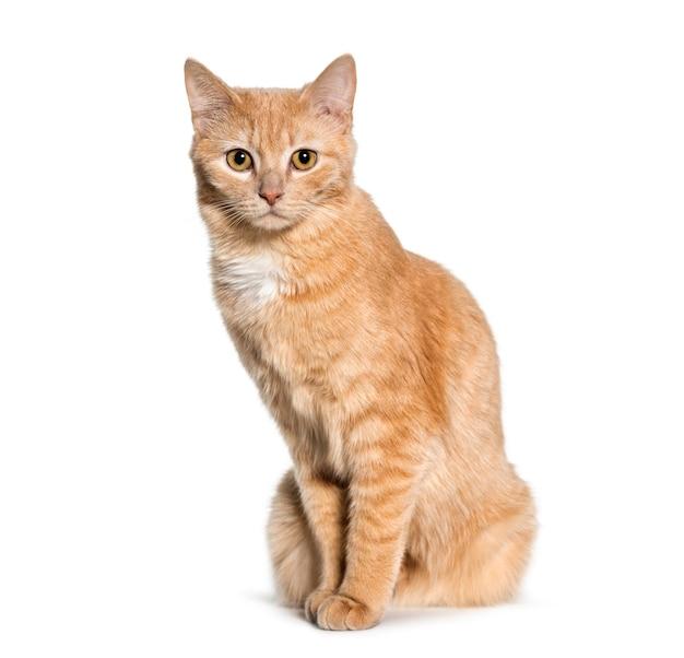 Gatto di razza mista seduto su sfondo bianco