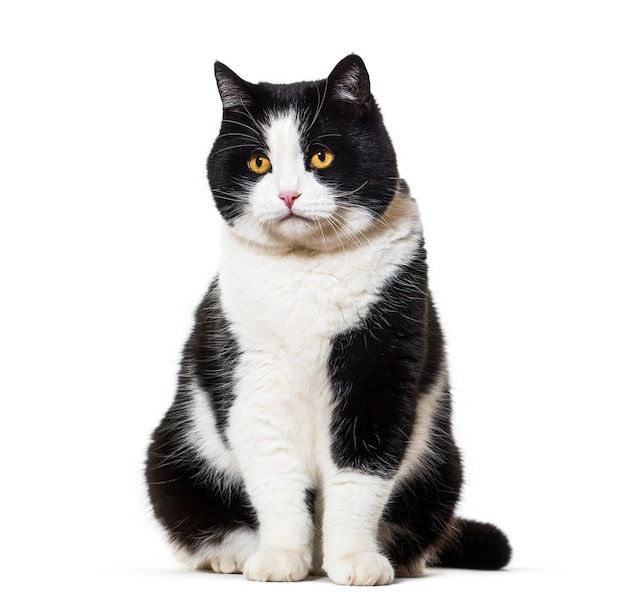 Seduta di gatto di razza mista isolata