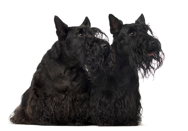 Cani di razza mista seduti