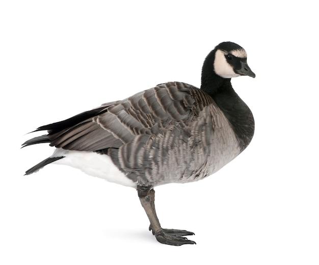 Oca di razza mista tra canada goose e un barnacle goose su un bianco isolato,