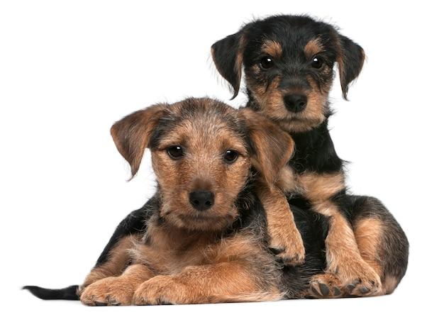 Cuccioli di razza mista, 8 settimane,