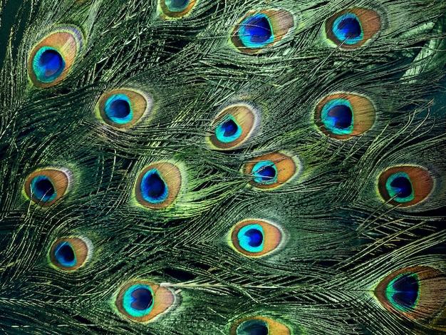 Foto mobile della bellissima coda di pavone.