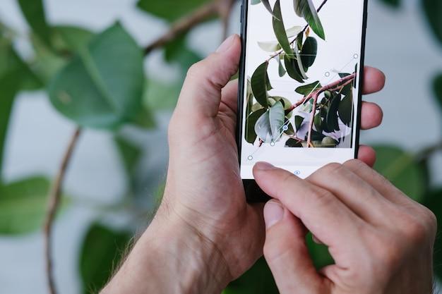 Arte della fotografia mobile. perfetto processo di creazione di foto. innovazioni tecnologiche per risultati migliori. mani che tengono smartphone e concentrandosi sulla pianta di ficus verde.