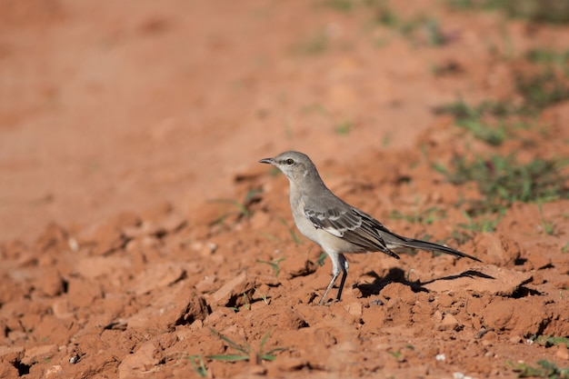 Mockingbird in arizona