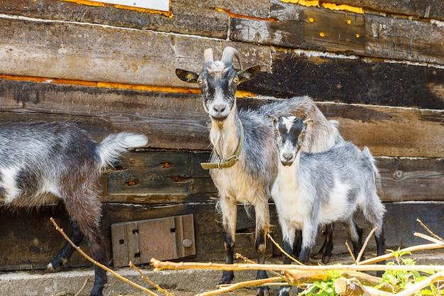 Capra carina moderna del bestiame animale che si rilassa nel cortile della fattoria durante il giorno estivo capre domestiche che pascolano in p...