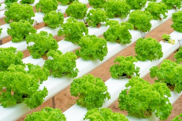 Serra moderna per la coltivazione di insalate con impianto di irrigazione. scala industriale di piante in crescita.