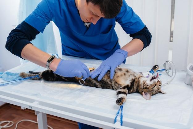 In una moderna clinica veterinaria, il gatto viene esaminato e preparato per un intervento chirurgico radendosi la pancia. clinica veterinaria