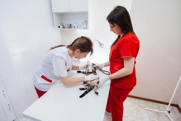In una moderna clinica veterinaria, un gatto purosangue viene esaminato e trattato sul tavolo. clinica veterinaria.