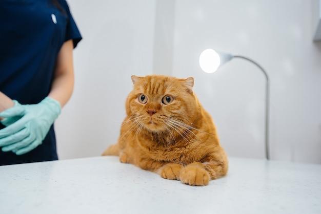 In una moderna clinica veterinaria, un gatto purosangue viene esaminato e trattato sul tavolo