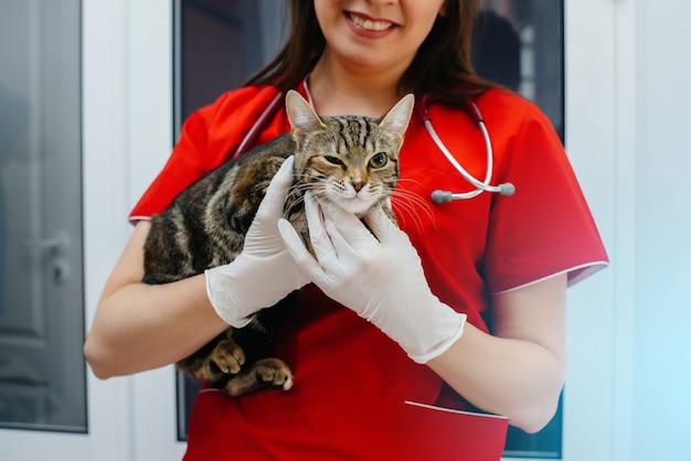 In una moderna clinica veterinaria, viene esaminato e trattato un gatto purosangue