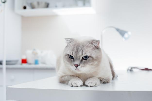 In una moderna clinica veterinaria, un gatto purosangue si siede su un tavolo. clinica veterinaria.