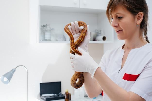 In una moderna clinica veterinaria viene esaminato un serpente giallo. clinica veterinaria.