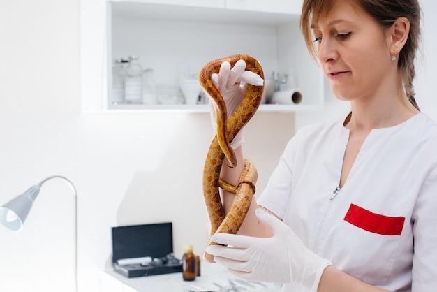 In una moderna clinica veterinaria, viene esaminato un serpente giallo. clinica veterinaria.