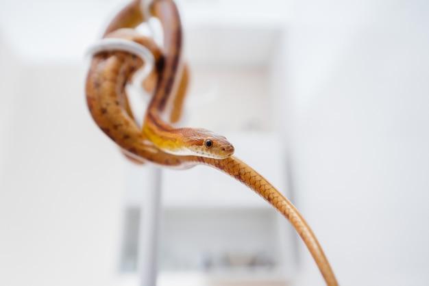 In una moderna clinica veterinaria, viene esaminato un serpente giallo