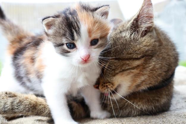 Mamma gatto e gattino tricolore giocano insieme