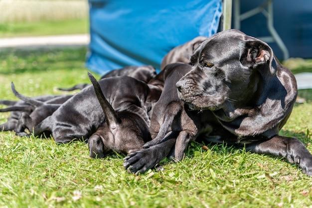 Mamma che alimenta i cuccioli di cane corso nel cortile