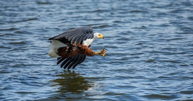 Momento dell'attacco dell'aquila pescatrice africana al pesce nell'acqua.