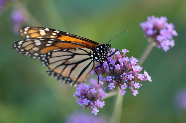 Farfalla monarca con fiore di verbena