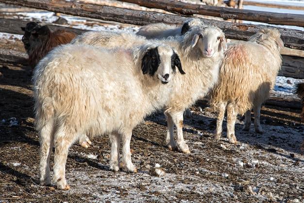 Pecore mongole in un piccolo fienile