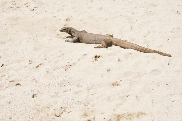 Monitor lizard goditi la luce del sole sulla spiaggia di sabbia