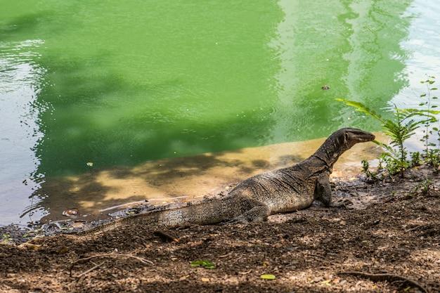 Lucertola di monitoraggio a lumpini park, bangkok. asiatico, pericoloso.