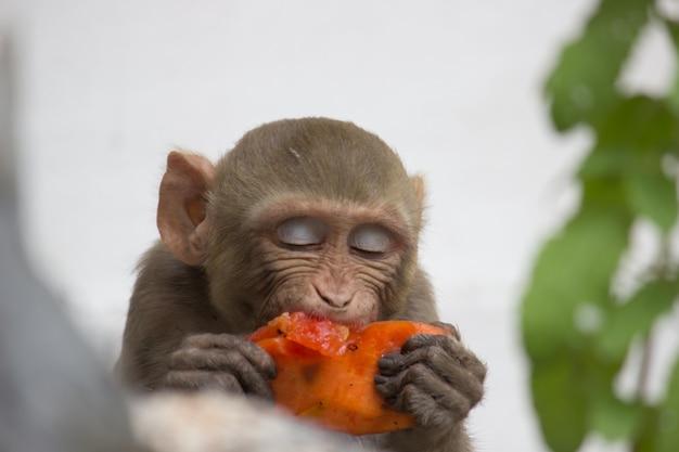 Scimmia impegnato a mangiare frutta