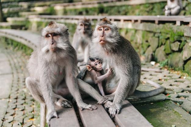 Famiglia della scimmia con il piccolo bambino nella foresta ubud bali indonesia