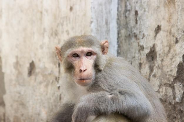 Scimmia distoglie lo sguardo incuriosita