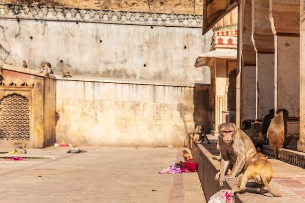 Monkey nel tempio delle scimmie a jaipur, rajasthan, india.