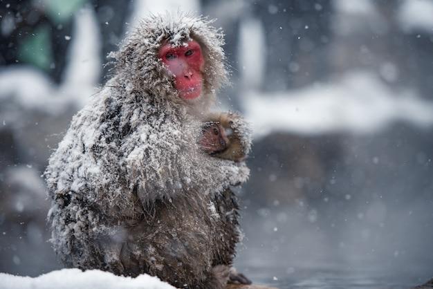 Scimmia madre che trasporta il suo bambino in braccio al parco jigokudani, giappone