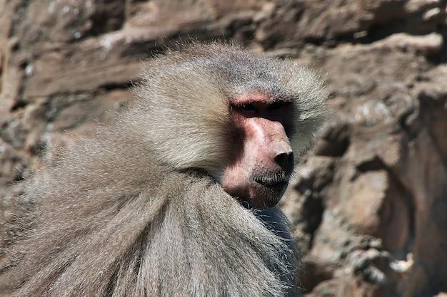 La scimmia nelle montagne dell'arabia saudita