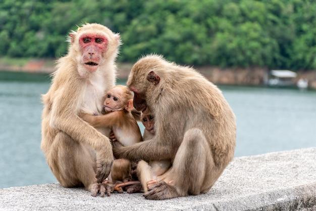 Genitori scimmia, madri scimmia e cuccioli di scimmia vivono insieme come una famiglia