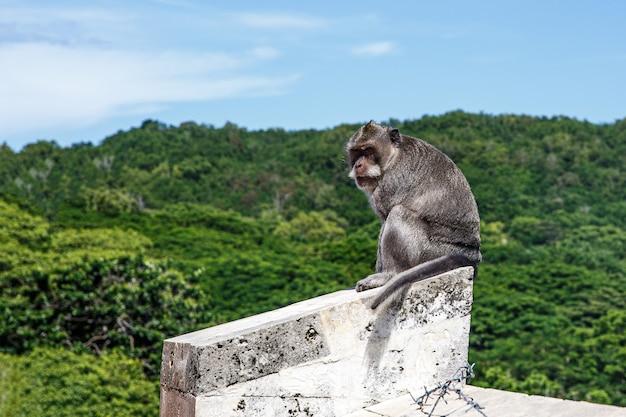 Scimmia su un parapetto di pietra.
