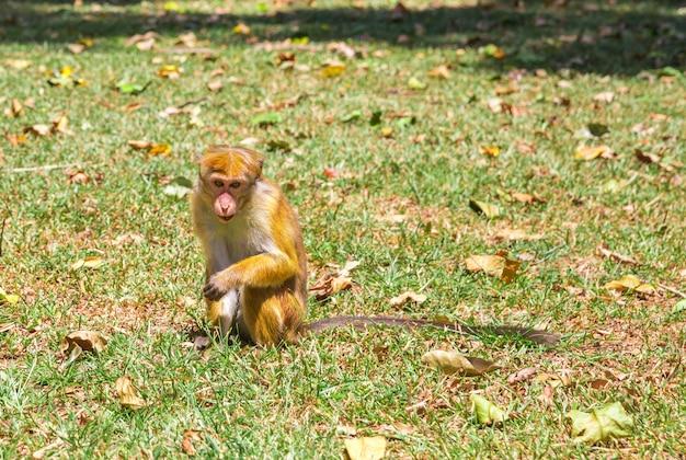 Scimmia nella fauna tropicale a ceylon, giovane macaco