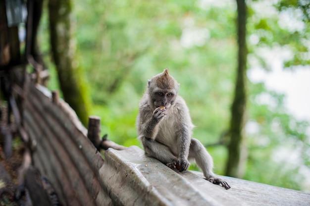 Scimmie nella foresta delle scimmie, bali