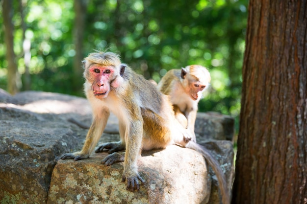 Scimmie che si siedono sulla pietra nel vecchio tempio del buddha a ceylon. macachi nello sri lanka. scena di widlife, asia