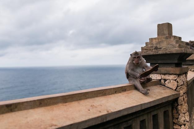 Scimmie al tempio di uluwatu sull'isola di bali, indonesia