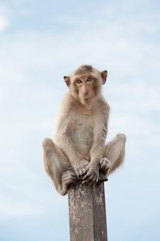 Scimmie della thailandia