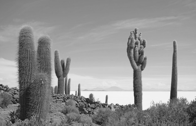 Monocromatico campo di cactus su isla incahuasi sperone roccioso in uyuni saline potosi bolivia