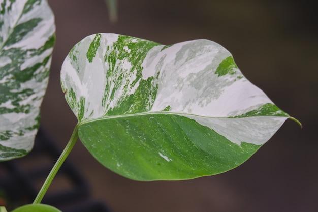 Monstera borsigiana albo foglia variegata closeup pianta da appartamento molto rara ornamental