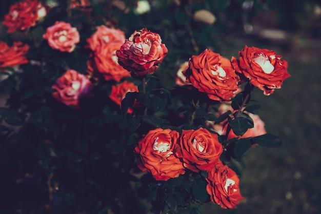 Sfondo floreale lunatico con rose rosse e arancioni su sfondo scuro