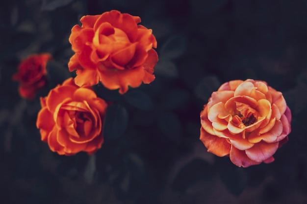 Sfondo floreale lunatico con rose rosse e arancioni in stile vintage